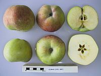 Cross section of Climax, National Fruit Collection (acc. 1921-087).jpg