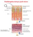 Cross section of retina ku.png