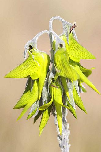 Crotalaria cunninghamii - Image: Crotalaria cunninghamii 2
