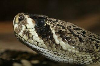Eastern diamondback rattlesnake - C. adamanteus, Saint Louis Zoological Park