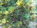 Croton - ക്രോട്ടൻ 04.JPG