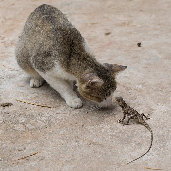 File:Curious cat starring at a lizard (2).jpg