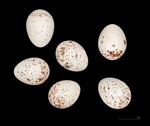 Eurasian blue tit - Eggs of Cyanistes caeruleus ultramarinus MHNT