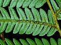Cyathea dregei, pinna, Iphithi NR.jpg