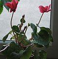 Cyclamen persicum 1.jpg