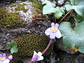 Cymbalaria muralis (Flowers).jpg