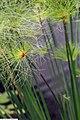 Cyperus papyrus 15zz.jpg