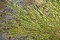 Cytisus scoparius in Jardin Botanique de l'Aubrac.jpg