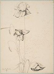 Study of poppies