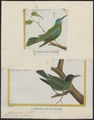 Dacnis spiza - 1700-1880 - Print - Iconographia Zoologica - Special Collections University of Amsterdam - UBA01 IZ19000391.tif