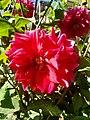 Dahlia Flowers (5).jpg
