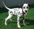 Dalmatian puppy, four months.png