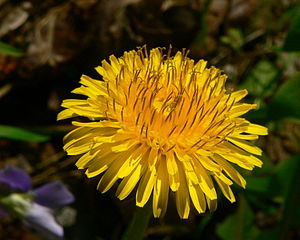 Antheraxanthin - Antheraxanthin has been found in high levels in sun-exposed dandelions (Taraxacum officianale).
