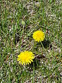 Dandelion in summer 2009 in winnipeg canada.JPG