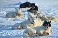 Danish Sled Dogs in Alert, Nunavut.jpg