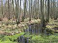 Darßwald.jpg