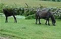 Dartmoor ponies - geograph.org.uk - 411445.jpg