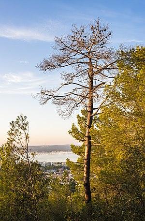 Pinus halepensis - A dead Aleppo pine in front of the Étang de Thau