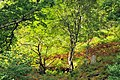 Deciduous woodland near Loch Sunart - geograph.org.uk - 957595.jpg