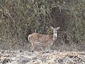 Deer,Mudumalai,tamilnadu - panoramio.jpg