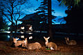 Deers having rest in the garden surrounding Tōdai-ji temple complex. Nara, Nara Prefecture, Kansai Region, Japan.jpg