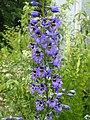 Delphinium sp. Caucasus - Flickr - peganum (1).jpg