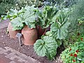 Demonstration of rhubarb forcing at Chelsea Physic Garden - geograph.org.uk - 1429900.jpg