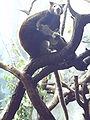 Dendrolagus matschiei Cologne Zoo.jpg