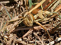 Desert Locust (Schistocerca gregaria) W IMG 3486.jpg