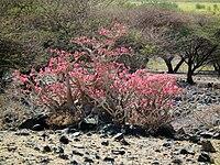 Desert rose Adenium obesum in Tanzania 2261 Nevit.jpg