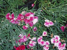 DianthusChinensis10