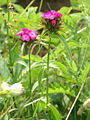 Dianthus barbatus PID1688-4.jpg