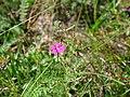 Dianthus deltoides near Forst(Lausitz) 02.jpg