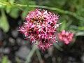 Dianthus pinifolius 2.JPG