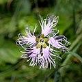 Dianthus superbus Auernig 01.jpg