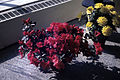 Dicksons Florist flower shop azaleas 02.jpg