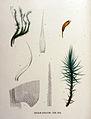 Dicranum undulatum — Flora Batava — Volume v16.jpg