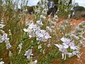 Dicrastylis verticillata flowers Sheoak Hill CP 1.jpg