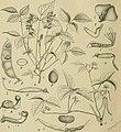 Die Natürlichen Pflanzenfamilien - nebst ihren Gattungen und wichtigeren Arten, insbesondere den Nutzpflanzen (1887-1909.) (20909426736).jpg
