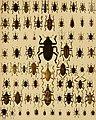 Die exotischen Käfer in Wort und Bild (1908) (20725609818).jpg
