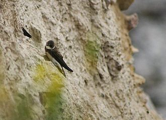 Sand martin - Showing dark breast band