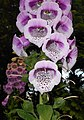 Digitalis purpurea 2015-06-20 3386.jpg