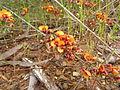 Dillwynia sericea (5144416076).jpg