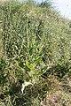 Dipsacus fullonum-Cardère sauvage-20150622.jpg