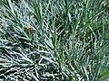 Disanthus alphus.JPG