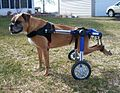 Dog Wheelchair - Boxer can Walk and Play Again!.jpg