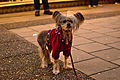 Dog dressed up, Eskilstuna, Sweden.jpg
