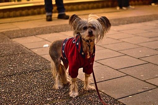 Dog dressed up, Eskilstuna, Sweden