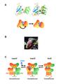 Domaine extracellulaire du récepteur GABAB.png
