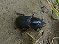 Dorcus parallelipipedus Foci dell'Avisio 01.jpg